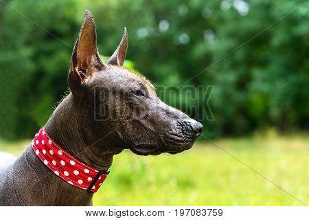 Close-up portrait A Mexican Hairless dog in lovely collar (xoloitzcuintle Xolo) on a background of green grass and trees in the park
