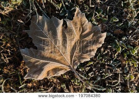 Morning frost on a dry fallen leaf at autumn in Kalemegdan park, Belgrade, Serbia