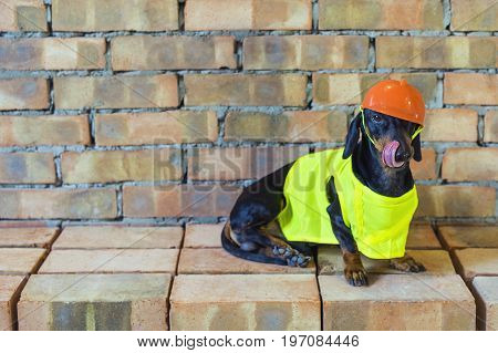 Dog builder dachshund in an orange construction helmet at the brick wall background