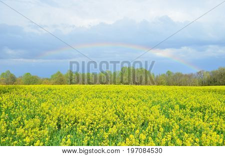 Colorful rainbow over yellow canola field in Spring