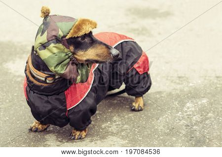 portrait dog breed dachshund full-length on the pavement. dog dressed in a black tan jacket and a khaki hat.