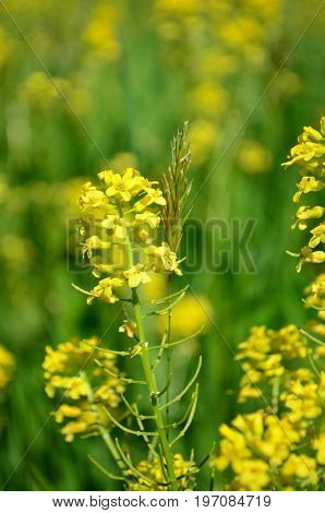 Closeup of Yellow canola flowers in Spring with blurred yellow and green background