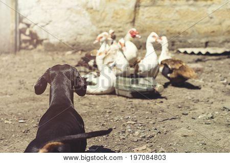 Dog breed dachshund black tan hunting barking at ducks in the village in summer