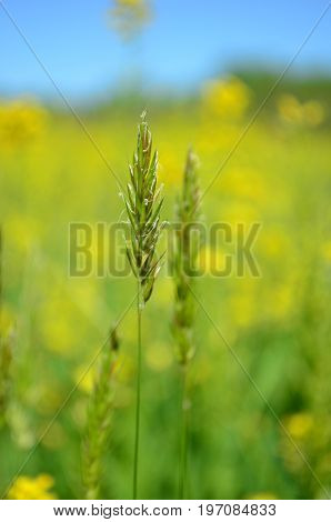Closeup of tall grass in a blurred Yellow canola field background