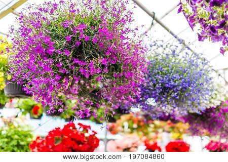Many Colorful Tiny Purple, Pink And Red Small Flowers With Green Leaves Hanging In Pot In Garden In