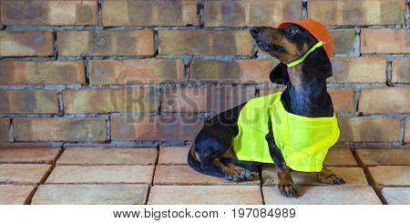 Dog builder dachshund in an orange construction helmet at the brick wall background. Billboard