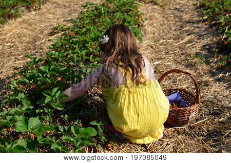 Young girl picking strawberries in a yellow dress