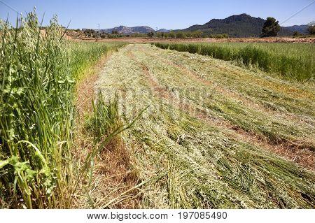 Harvest Wheat field in Teruel province. Spain