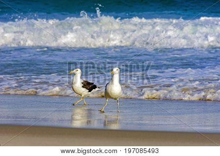 Gulls over waterline at Devil beach in Ipanema Rio de Janeiro