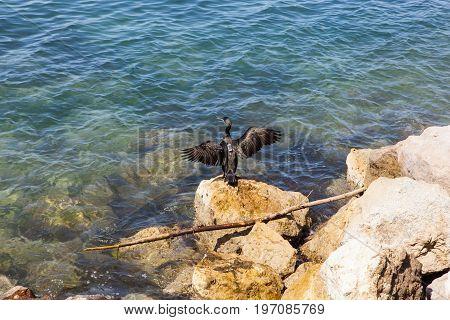 Great cormorant with microchip in the Koper sea
