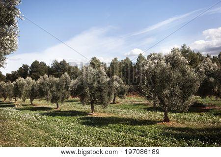 Olive tree field in Teruel province. Spain