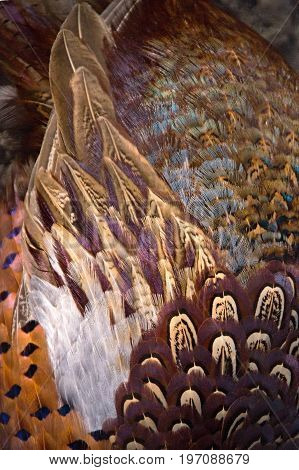 Colorful pheasant feathers background. abstract Vertical texture