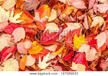 Fallen yellow and red autumn maple leaves