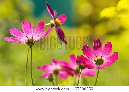 Purple flowers in the backlight. Beautiful cosmos in the field