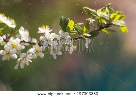 Flowering branch in the rain. Beautiful multicolored background