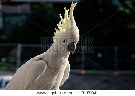 Australian Sulphur Crested Cockatoo close-up walking on a balcony rail with crest on display. Gosford New South Wales Australia. photograph by Geoff Childs.
