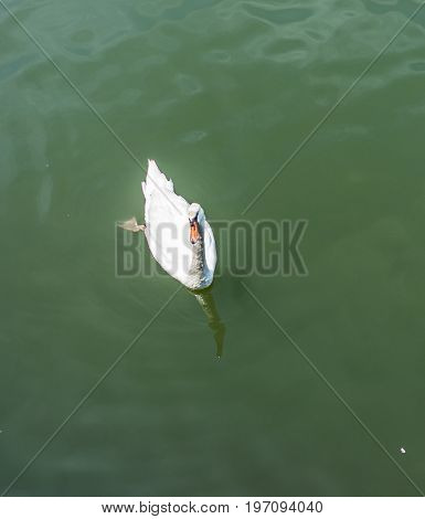 One Dirty White Swan Swimming In Polluted Green Ocean During Summer Waiting For Food