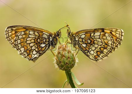 Nickerl's fritillary - Melitaea aurelia. Butterfly is a butterfly of the Nymphalidae family. Two beautiful butterflies sit on one flower. Sit on each other. The background is a light gray color.
