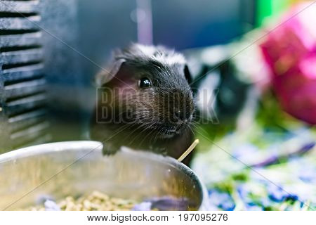 Closeup Of Cute Black And White Guinea Pig With Whiskers Eating From Bowl