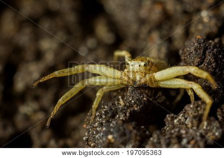 Spider - Xysticus erraticus. A small yellow spider with brown strips. The spider sits on the ground with its paws raised.