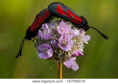 Butterfly - Zygaena minos. Two butterflies sit on a flower. Butterflies mate. Butterfly with bright red wings on a black background.