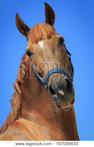Portrait of the chestnut horse on the blue sky background