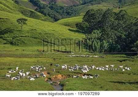 View of grassy fields with cows grazing near the town of Joanópolis. In the countryside of São Paulo State, a region rich in agricultural and livestock products, southwestern Brazil