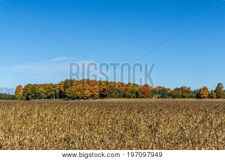 Looing across a ready to harvest corn field to a maple forest in its ultimate autumn glory