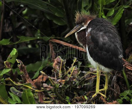 Tri=color Heron Juvenile in the south Florida wetlands