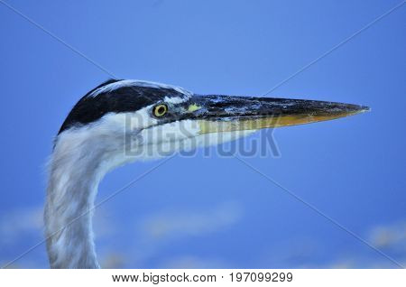 Profile of the Great Blue Heron in the south Florida Wetlands