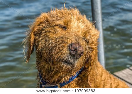Golden Doodle on Dock - Wet and Self-satisfied