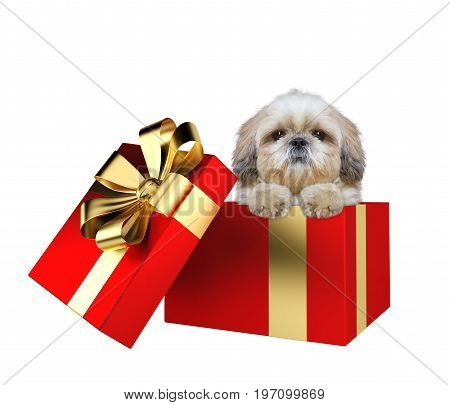 Cute shitzu puppy in a red present box isolated on white background