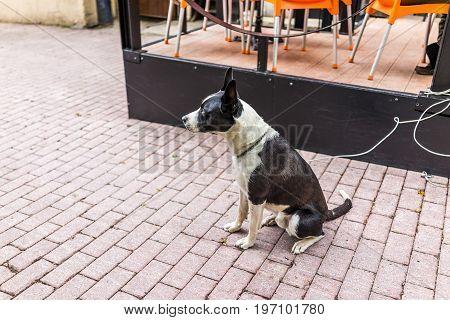 Sad Black And White Dog On Leash Sitting By Restaurant On Cobblestone Street