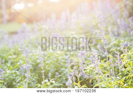 Closeup Image Of Violet Lavender Flowers In The Field In Sunny Day