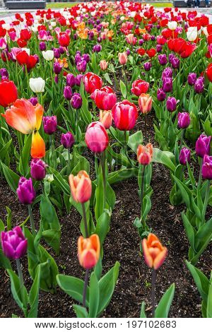 Purple, Red, Orange And Pink Tulips In Summer Flower Bed Closeup With Soil