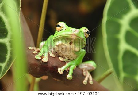 A green tree frog poses and smiles for its portrait