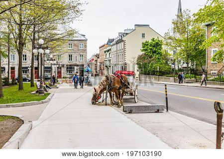 Quebec City, Canada - May 29, 2017: Horse Eating From Ground Attached To Carriage Buggy For Tourist