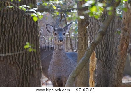 Young deer in woods curiously looks on while other deer are feeding nearby.