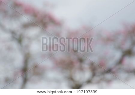 Blurred blooming Pink Poui - natural background