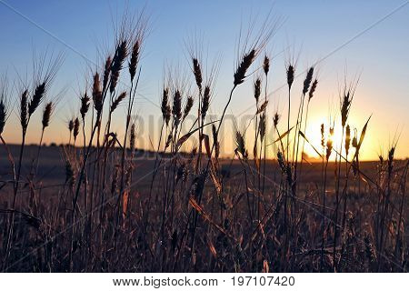 silhouette of wheat ears after sunset closeup