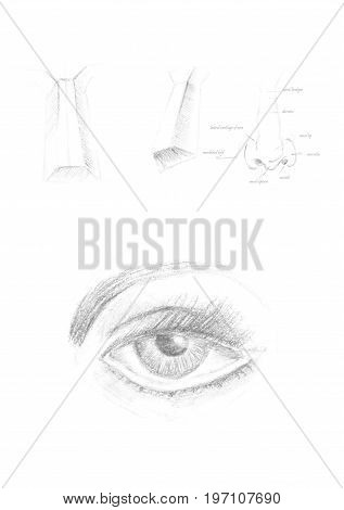 Hand drawn human eye and nose icon illustration, brush drawing grey sign, original hand-painted eye isolated on white background. Academic drawing sketch.