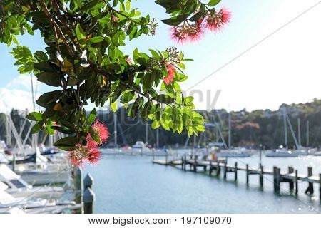 Pohutukawa tree and flowers at Doves Bay boat Marina Kerikeri Northland New Zealand NZ
