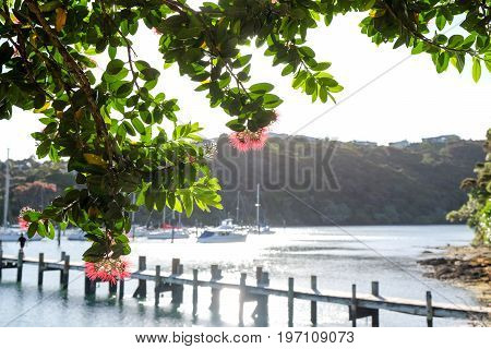 Pohutukawa tree and flowers at Doves Bay Marina Kerikeri Northland New Zealand NZ with boats and pier in background