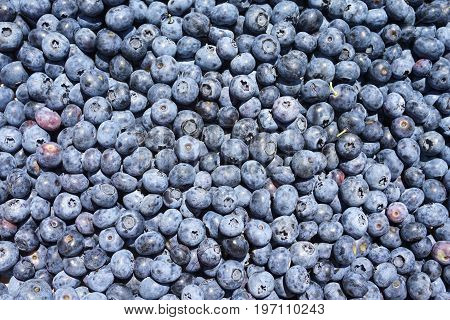 fresh blueberry background in the harvest season