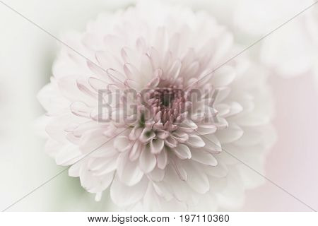 A beautiful neutral pastel pink flower with a blurred background.