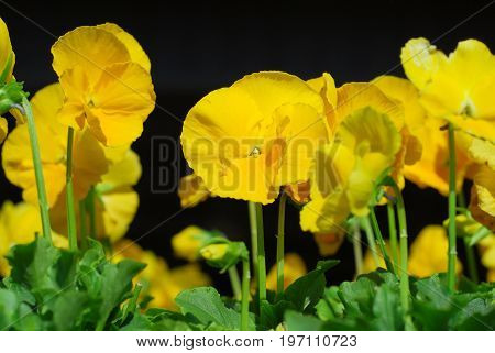 close up on blooming yellow pansy flower in spring