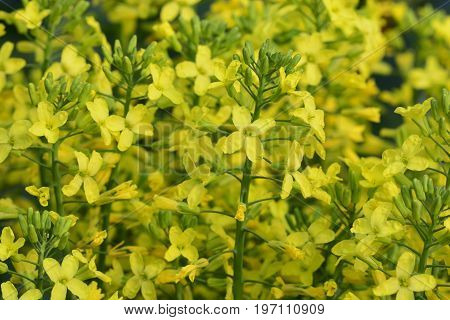 Broccoli yellow flowers (Brassica oleracea var. italica)