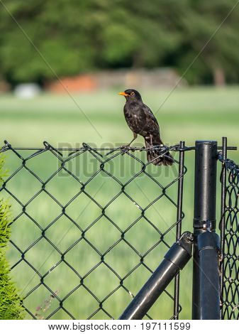 Male blackbird sitting on a metal fence