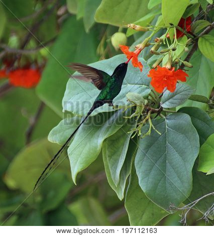 Forked tailed hummingbird at flower in Jamaica