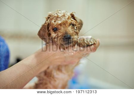 Washing small cute puppy. Woman hands cleaning poodle puppy